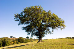Oak on the hill. Solitary oak  on the hill of tuscany Royalty Free Stock Image