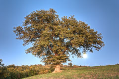 Oak on the hill Royalty Free Stock Photos