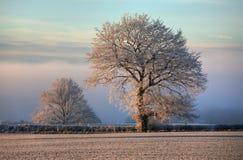 Oak with hoar frost, Cotswolds Stock Image
