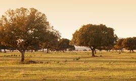 Oak holm, ilex in a mediterranean forest. Cabaneros park, Spain. Oak holms, ilex in a mediterranean forest. Cabaneros park, Spain. Horizontal Royalty Free Stock Photography
