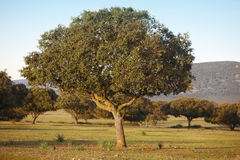 Oak holm, ilex in a mediterranean forest. Cabaneros park, Spain Stock Photography