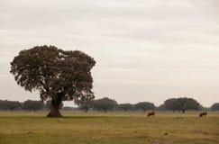 Oak holms, ilex in a mediterranean forest. Landscape in Extremadura center of Spain Stock Photos