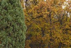 Oak and Juniper Royalty Free Stock Images
