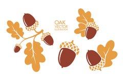 oak kli Isolerade ekollonar på vit bakgrund också vektor för coreldrawillustration vektor illustrationer