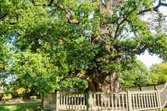 Guillotin oak 9m60 in circumference, Forest broceliande, Paimpont, Brittany,. France royalty free stock photos