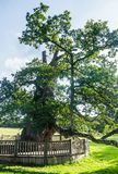 Guillotin oak 9m60 in circumference, Forest broceliande, Paimpont, Brittany,. France stock photos