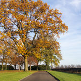 Oak lane in autumn Stock Image