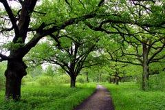 Oak lane in th park royalty free stock image