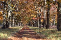Oak lane on the Veluwe Royalty Free Stock Image