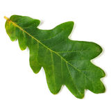 Oak Leaf Royalty Free Stock Photo