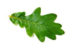 Oak leaf Royalty Free Stock Photos