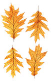 Oak leaf Stock Images