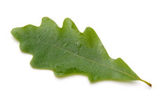 Oak Leaf Stock Images