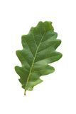 Oak leaf Royalty Free Stock Photography