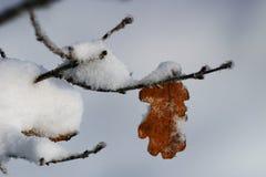 Oak leaf Royalty Free Stock Images