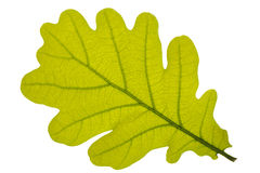 Oak leaf stock photography