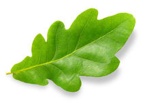 Oak leaf. Stock Photo