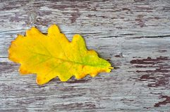 Oak leaf Royalty Free Stock Photo