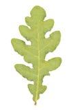 Oak leaf. Green oak leaf isolated on white Royalty Free Stock Photo