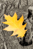 Oak leaf Royalty Free Stock Image
