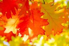 Oak Leaf Stock Photos
