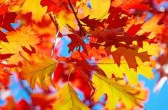 Oak Leaf Royalty Free Stock Photography
