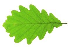 Free Oak Leaf Stock Images - 35205644