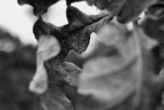 Oak leaf. Detail of an oak leaf Stock Image
