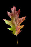 Oak Leaf 4 with clipping path Royalty Free Stock Image