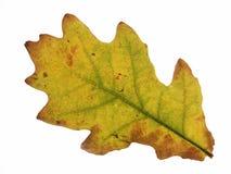 Free Oak Leaf Stock Photography - 4013772