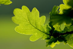 Oak Leaf` Royalty Free Stock Photos
