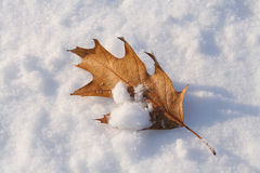 Oak leaf. Dried oak leaf on snow Royalty Free Stock Image