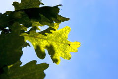 Oak leaf Stock Image