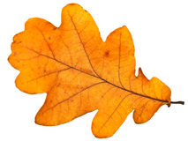 Free Oak Leaf Royalty Free Stock Photo - 6648915