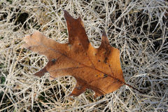 Oak leaf. Lying on the grass covered with hoarfrost Royalty Free Stock Image