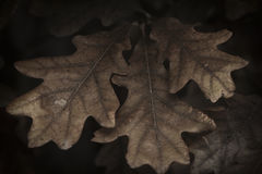 Oak Leaf Abstract. An abstract view of white oak leaves Stock Photography