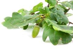 Oak leaf with acorn Royalty Free Stock Photo