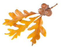 Oak Leaf and acorn Royalty Free Stock Photos