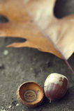 Oak leaf and acorn Royalty Free Stock Image