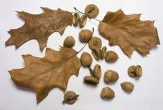 Oak leaf and acorn stock photo