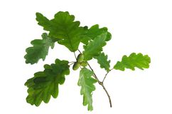 Oak leaf and acorn Royalty Free Stock Images