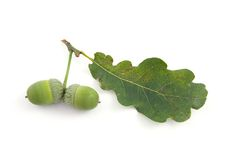 Oak leaf with  acorn Stock Images