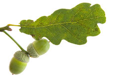 Oak leaf and acorn Stock Photos