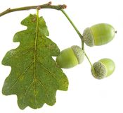 Oak leaf and acorn Royalty Free Stock Photography