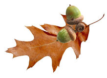 Oak Leaf and Acorn Stock Images