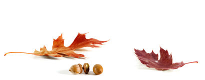 Oak Leaf and Acorn Card Royalty Free Stock Images