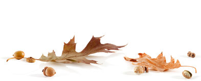 Oak Leaf and Acorn Card Royalty Free Stock Photography