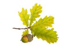 Oak leaf and acorn isolated on white background Royalty Free Stock Image