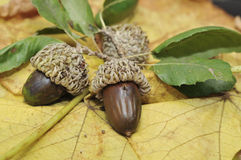 Oak leaf and acorns Stock Photo
