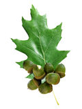 Oak leaf with acorns Royalty Free Stock Images